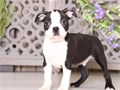 Boston Terrier puppiesFirst shots and wormed Paper trained Pedigrees provide