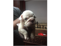 Beautiful English bulldog puppiesBig rope with short compact bodiesFull AKC color carriers Gr