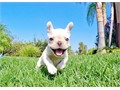 Kealani is an AKC registered female French Bulldog She is up to date on her vaccines and vet checks