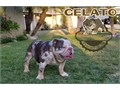 Gelato amazing lilac tri merle stud with a blue and green eye he is located in Fontana Ca Can meet