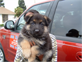 High quality German Imported Shepherd puppies Bred for Beauty Brains and Courage  Exceptionally
