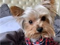 The Yorkshire Terrier often shortened as Yorkie is one of the smallest dog breed of terrier type