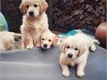 Get Healthy Pups From Responsible and Professional Breeders At PuppySpot Find Y