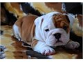These lovable wrinkly English Bulldog puppies have been family raised and spoiled with lots of love