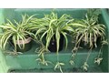 two 2 gallon 10 eachsix 1 gallon 5 each Cash Only variegated green  white striped spider plants