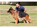 3xSG1  Mailo od Tiganjicegood pedigree  imported from Serbia 2 and 10 months  year old male with