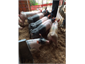 Selling 50 Cross Bred feeder pigs They are vaccinated and castrated Please call to set up a time t