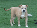 Rare colored American Bulldog pups ARBA reg DOB 6417 black fawn and blue fawns both males and fe