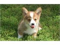 Pembroke Welsh Corgi is a cattle herding dog breed which originated in Pembrokeshire Wales It is o