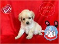 I HAVE MALES AND FEMALES POMERANIAN MIXED WITH POODLE 8 WEEKS OLD  SHOTS AND DE WORM ARE UP
