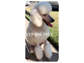 Cream AKC registered standard poodle He is wonderful with children and other dogs Comes with paper