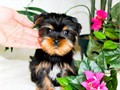 Mini Yorkie Female Puppy Youtube Clip httpsyoutube3VqOD61FSLQName Mini Felicity Curren