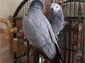 MALE AND FEMALE AFRICAN GREY PARROTS AVALIABLE FOR SALEWe guarantee that there are no symptoms o