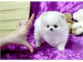 We have two beautiful AKC Pomeranian puppies available All of them have had their first shots and