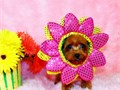 Baby doll face 8 12 weeks old 2 lbs Mahogany red color female tiny -toy Poodle Has ta shiny si