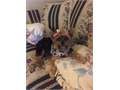Lost Yorkshire Terrier - Reward Last Seen Wed 60116 West Covina Frankfurt - Elberland- Sentous