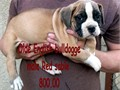 Olde English Bulldogge puppies males shots  de wormed 8 weeks old 600-800 60000 951-430-1841 tail