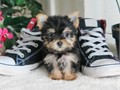 Name Shyne Current Weight 14 lbsREG ACADOB 10-29-16Gender FemaleBreed Yorkie Yorks