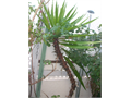 Yucca Brevifolia member of Agave Family - 6 feet  tall  Organically grown