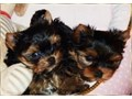 Affectionate Yorkie Puppies 2 adorable Yorkie puppies looking for a good home 500 each  purebred