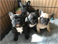 tad Frenchie Puppies Available for their new homes now Contact for more information and pics on the