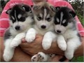 Beautiful male and female Siberian husky Puppies looking for their forever homes 1 male 1 female