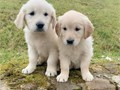 Very cute social and lovely Golden Retriever Puppies are here There are male and female available