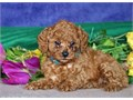 Toy Poodle puppyThey would love to be apart of your family and would make a g