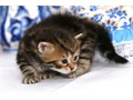 CFA and TICA certified Siberian kittens for sale Kittens were born on September