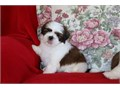 Beautiful Shih Tzu pups 100 purebred  registered Exquisite quality loving and sweet temperment