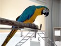 Lovely blue and gold macaw now available She is well trained love playing with people and other ho
