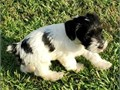 These Miniature Schnauzers puppies are looking for their forever home They are