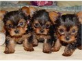 I have a male and a female purebred Yorkie available for adoption The dad weighs just over 6 lbs an