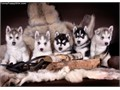 I am looking for a female husky  Free to reasonably priced  I do live on a farm in the country and