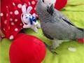 African Grey Male and female Large was hand tamed and has been living with us Up to date on vet