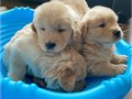 Male and female Golden Retriever puppies They are 11 weeks old vet checked de