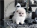 AKC White Female Pomeranian Gorgeous Teddy Bear face Huge thick coat nice tail and ears standing