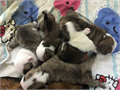 We have a beautiful litter of English Bulldog Puppies 4 Males 1 Female all AKC Registered they were
