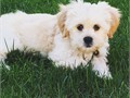 Adorable six-month-old Shih Tzu Pekingese mix for sale He is adorable all-white in color very act