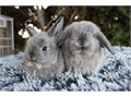 We have purebred holland lops available two females They will grow to be around dwarf weight when