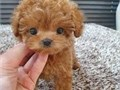 toy poodle  puppyTEXT US VIA 323-413 7094  FOR MORE INFO AND PHOTOS Email officialpets4saleg