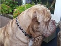 Old English Bulldogge pups Purebred registered and health guarantee Available for sale 4th of July
