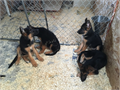 German Shepherd I have puppies available AKC only  interested  Inglish 323384-2652  323893-2379