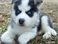Siberian Husky PupsWe have pure bred Siberian husky puppies for adoption- pups shall be wormed wi