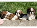 dorable Shih Tzu Puppies For Re-Homing  Our teacup Shih Tzu are absolutely gorgeous home raised pu