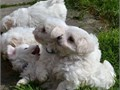 These precious little pups are Maltese They are looking for new homes These adorable little puppie