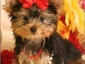 Small cute and healthy Teacup Yorkie puppies Very playful sociable and good with children Checked