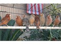 Beautiful Cobalt Red American Choppers Canaries starting at 95 and up For Serious Inquiries Call