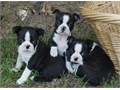 I have two gorgeous super playful boston terrier puppies They are up to date o