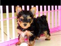 YORKIE PUPPIES FOR SALE MALE AND FEMALE THEY ARE SO CUTE MOM AND DAD ABOUT 5 POUNDS they have shots